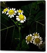 Feverfew In Bloom Canvas Print