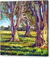 Ficus Trees Canvas Print