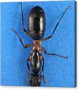 Field Ant Canvas Print