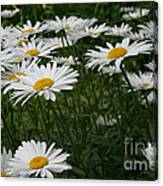 Field Daisies Canvas Print