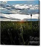 Field Of Alfalfa 5 Canvas Print