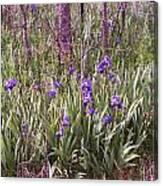Field Of Bearded Iris Canvas Print