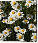 Field Of Oxeye Daisy Wildflowers Canvas Print