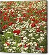 Field Of Poppies And Daisies In Limagne  Auvergne. France Canvas Print