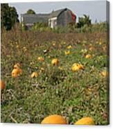 Field Of Pumpkins Canvas Print