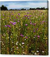Field Of Thistles Canvas Print