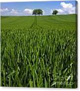Field Of Wheat. Auvergne. France. Europe Canvas Print