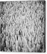 Field Of Wheat In Ireland Canvas Print