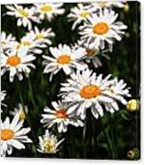 Field Of White Dasies Canvas Print