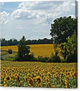 Fields Of Sunflowers Canvas Print