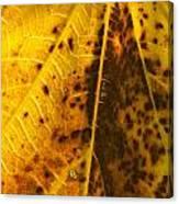 Fig Leaf Canvas Print