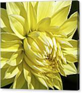 Figaro Yellow Dahlia Canvas Print