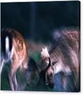 Fighting Fallow Deer Canvas Print