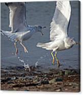 Fighting Gulls Canvas Print