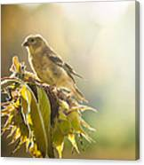 Finch Aglow Canvas Print