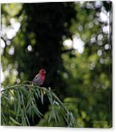 Finch In The Willow Canvas Print