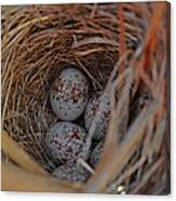Finch Nest With Eggs  Canvas Print