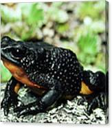 Fire-bellied Frog Atelopus Ignescens Canvas Print