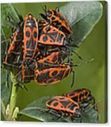 Firebugs Mating Canvas Print