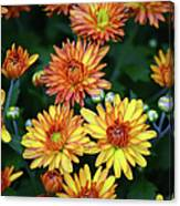First Fall Mums Canvas Print