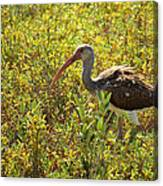 First Year White Ibis Canvas Print
