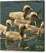 Five Baby Geese Swimming Canvas Print