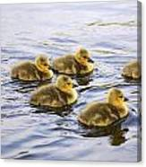 Five Goslings In The Water Canvas Print