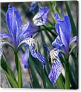 Flag Irises (iris Missouriensis) Canvas Print