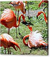 Flamingo Face-off Canvas Print