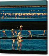 Flamingo Gathering Canvas Print