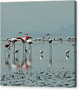 Flamingos In Magadi Canvas Print