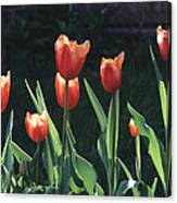 Flared Red Yellow Tulips Canvas Print