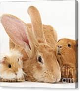 Flemish Giant Rabbit With Guinea Pigs Canvas Print