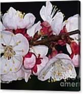 Fleurs D'abricotier Canvas Print