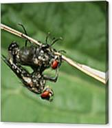 Flies Mating Canvas Print
