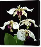 Flock Of Dendrobium Canvas Print