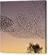 Flock Of European Starlings Canvas Print
