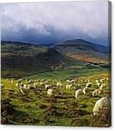 Flock Of Sheep Grazing In A Field Canvas Print