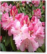 Floral Rhodies Photography Pink Rhododendrons Prints Canvas Print