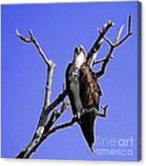 Florida Osprey Canvas Print