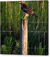 Florida Red-shouldered Hawk Canvas Print