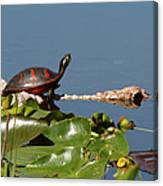 Florida Redbelly Turtle Canvas Print