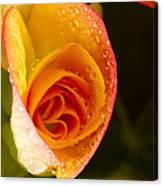 Flower Rieger Begonia 5 Canvas Print