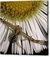 Flower Spider On Fleabane Canvas Print