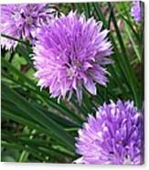 Flowering Chives Canvas Print