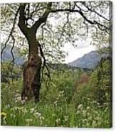 Flowering Maple Tree  Canvas Print