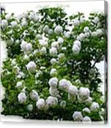 Flowering Snowball Shrub Canvas Print