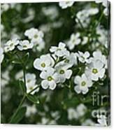 Flowering Spurge Canvas Print