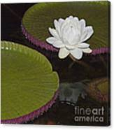 Victoria Amazonica White Flower Canvas Print