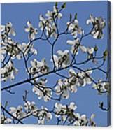 Flowering White Dogwood Canvas Print